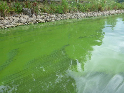 blue green algae picture
